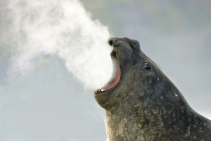 Elephant seal breathing, Antarctica